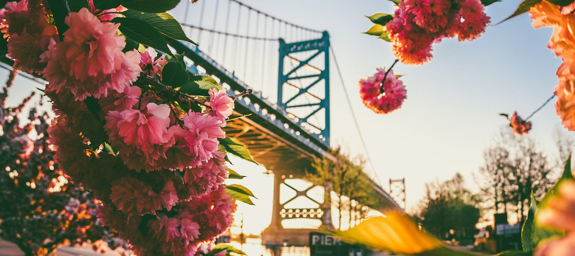 Large suspension bridge seen through the beautiful pink flowers of a tree